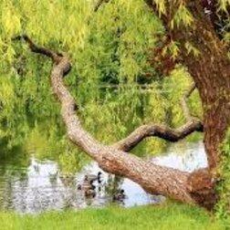 Út a fűzfa szívéhez